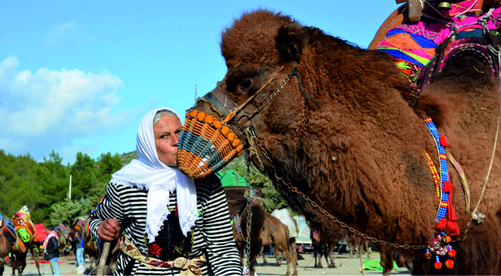 bodrum deve güreşi 160 DEVE GÜREŞTİ… BİNLERCE KİŞİ İZLEDİ… bodrum deve guresi 4