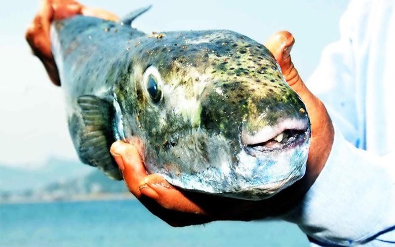 zehirli balon balığı BODRUM'DA BALON BALIKLARI GÜN GEÇTİKÇE ÇOĞALIYOR… ARENA BALON BALI  I