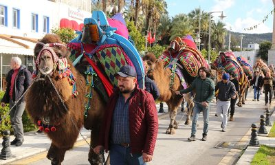 bodrum deve gÜreŞİ BODRUM DEVE GÜREŞİ KORTEJ YÜRÜYÜŞÜ İLE BAŞLADI arena bodrum deve g  re  leri ba  lad   400x240