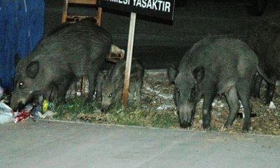 bodrumlu domuzlar BODRUM'DA DOMUZLARIN BESLENME SAATİ VAR… bodrum a domuz indi 400x240