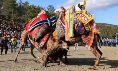 ŞAMPİYON OLMAK İÇİN GÜREŞENİ DE VARDI… ARENADAN KAÇANI DA… mehmet kocadon bodrum deve guresleri 3 400x240