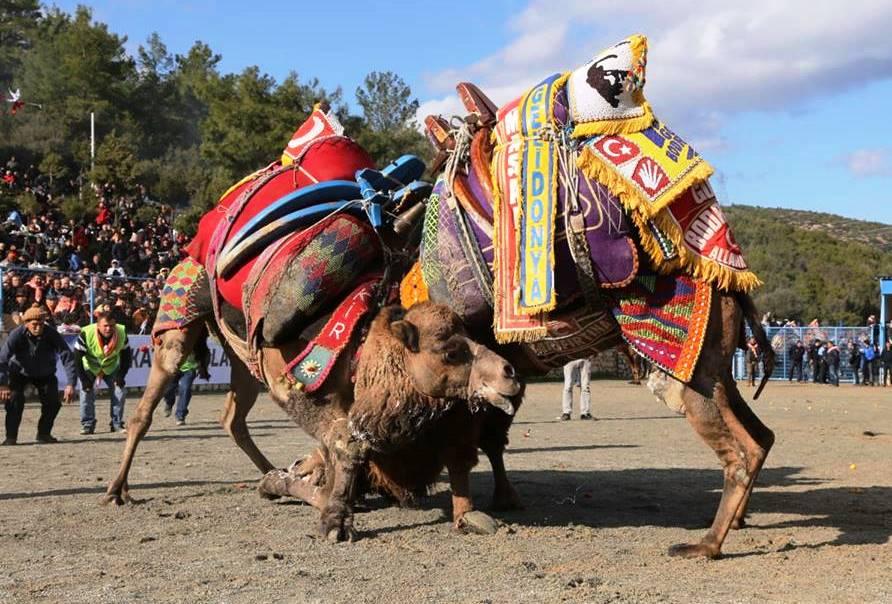 ŞAMPİYON OLMAK İÇİN GÜREŞENİ DE VARDI… ARENADAN KAÇANI DA… mehmet kocadon bodrum deve guresleri 3