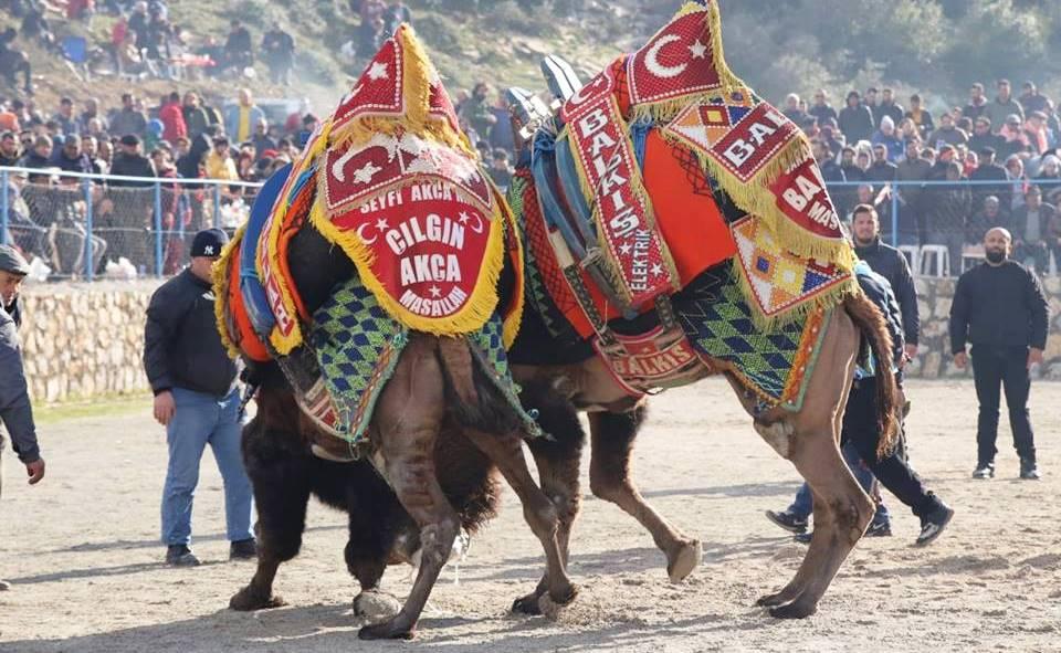 ŞAMPİYON OLMAK İÇİN GÜREŞENİ DE VARDI… ARENADAN KAÇANI DA… mehmet kocadon bodrum deve guresleri 4