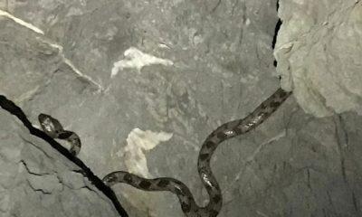 kedi gözlü yılan KEDİ GÖZLÜ YILAN BODRUM'U ŞAŞIRTTI… bodrumlu amator balikci kedi gozlu yilan 400x240