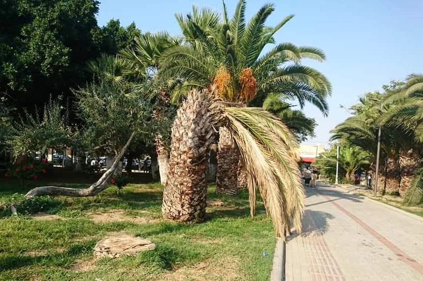BODRUM'UN PALMİYELERİ RİSK ALTINDA… turgutreis palmiye 1