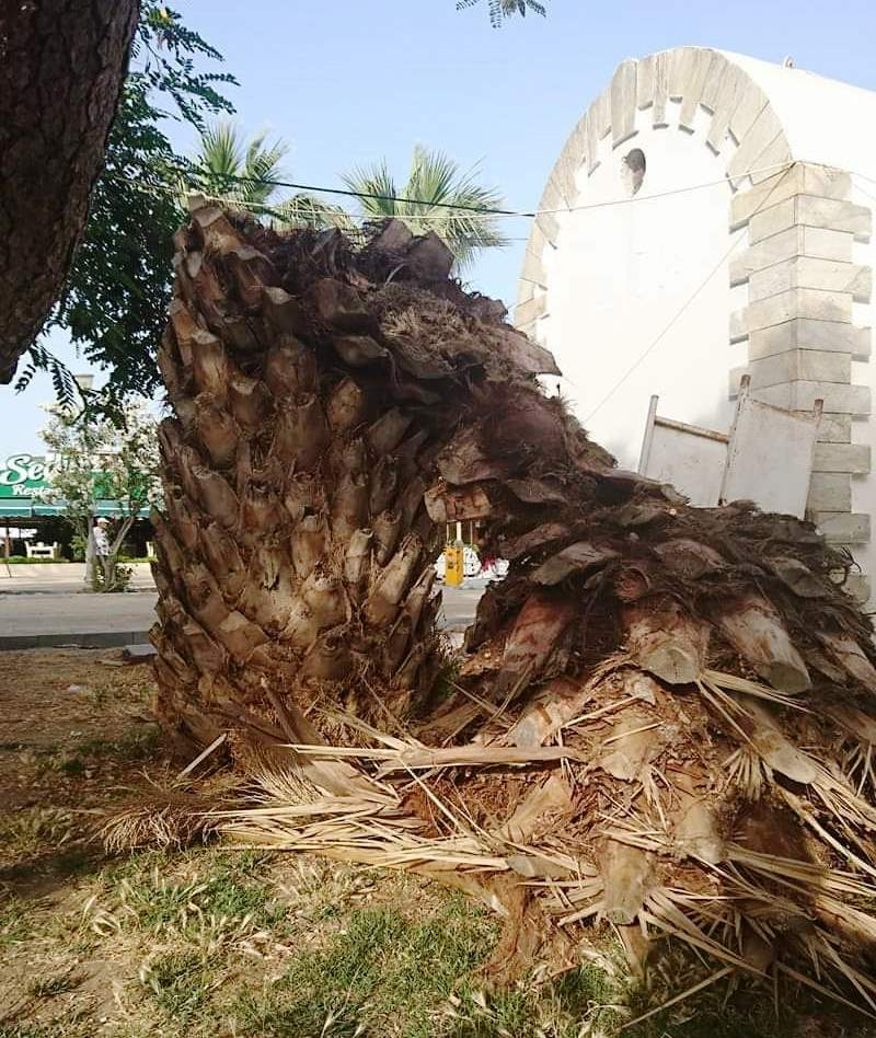 BODRUM'UN PALMİYELERİ RİSK ALTINDA… turgutreis palmiye 2