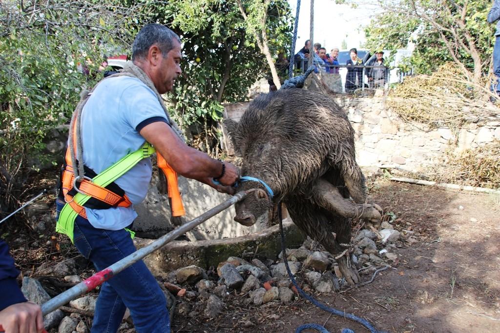yaban dumuzu KÖR KUYUYA DÜŞEN DOMUZU BELEDİYE EKİPLERİ KURTARDI… kuyuya dusen domuz kurtarildi 2