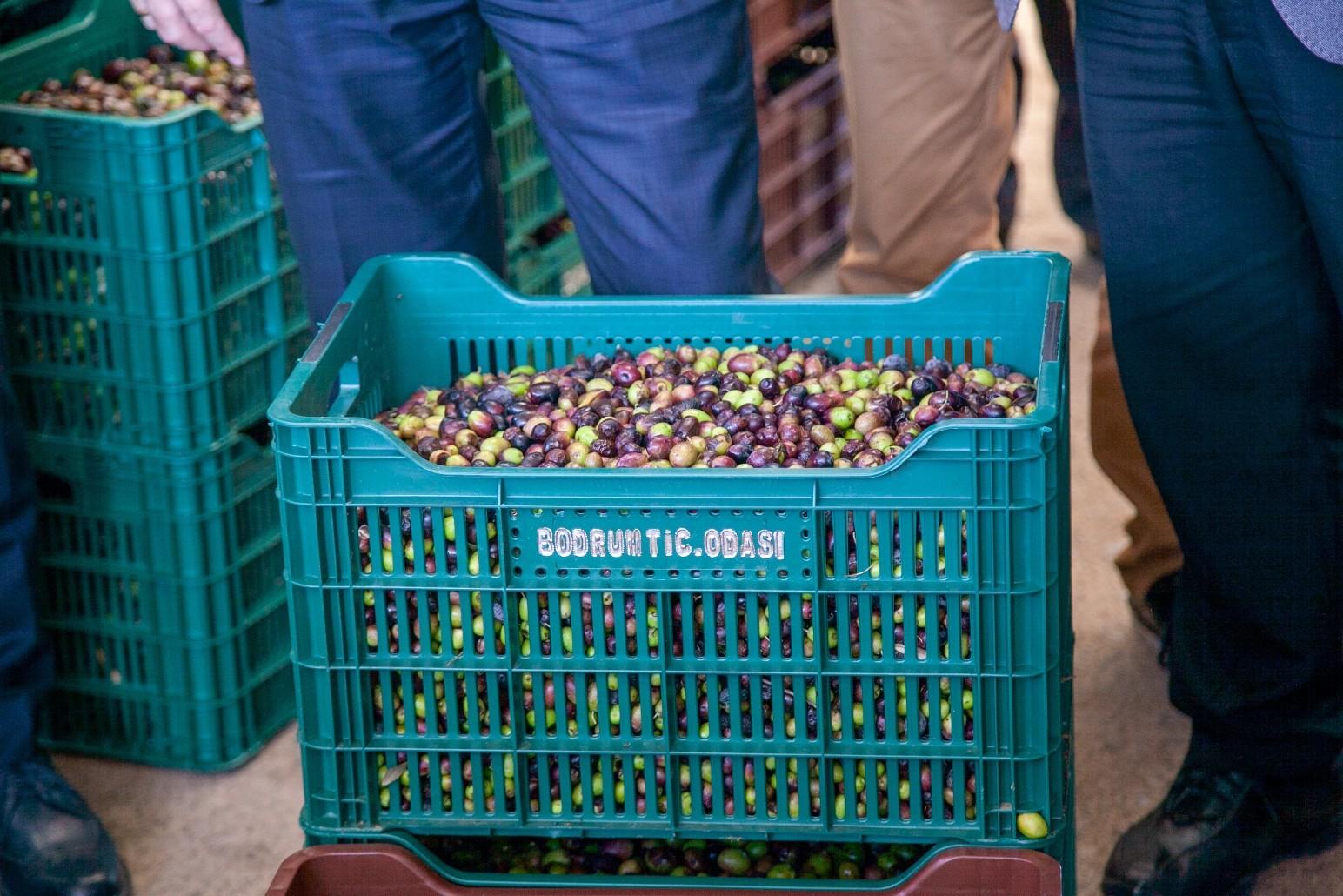 bekiroğlu zeytinyağı fabrikası ZEYTİN ÜRETİCİLERİNE ZEYTİN KASALARI DAĞITILACAK… zeytin kasalari ureticiye dagitildi 2