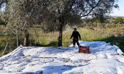 bodrum belediyesi zeytinlikleri Bodrum Belediyesi kendi yağında kavruluyor… bodrum belediyesi zeytinlikleri 1 400x240