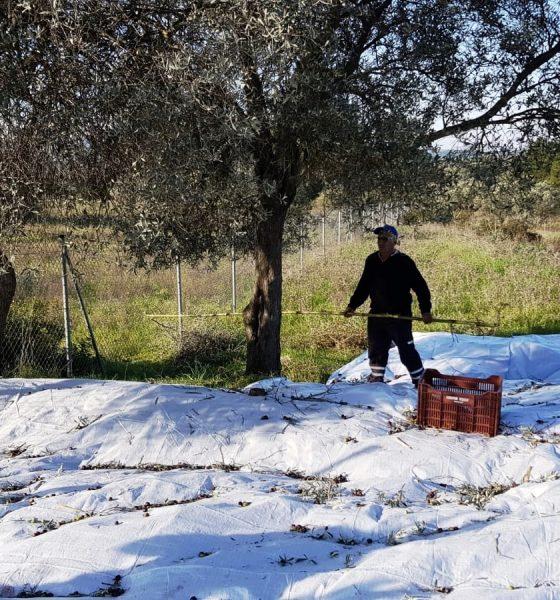 bodrum belediyesi zeytinlikleri Bodrum Belediyesi kendi yağında kavruluyor… bodrum belediyesi zeytinlikleri 1 560x600