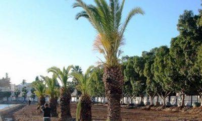 bodrum marina Büyükşehir marinadaki ağaçları taşıyacak… bodrum liman 400x240