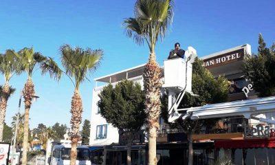 bodrum belediyesi park ve bahçeler müdürlüğü Kırmızı Palmiye Böceği mücadelesine devam ediyor… palmiye budana 1 400x240