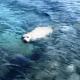 beyaz akdeniz foku Beyaz Akdeniz Foku Akyarları ziyaret etti… beyaz fok 80x80