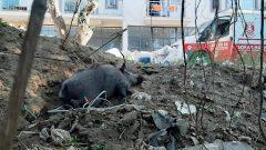 Kapana Yakalanan Domuzu Belediye Ekipleri Kurtardı…