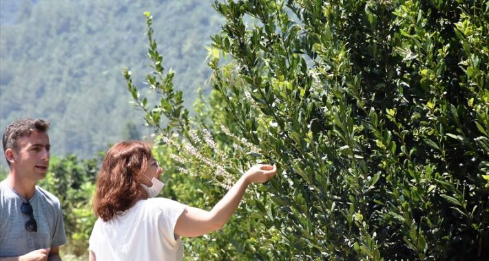 Muğla'da Defnenin Yaprağı Ve Yağı Gelir Kapısı Olacak…